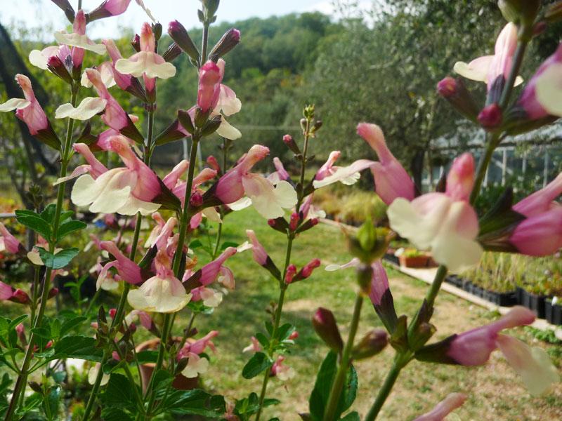 Salvia x jamensis 'Sierra San Antonio'