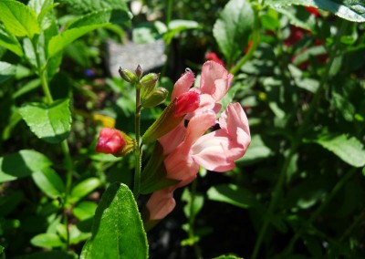 Salvia x jamensis 'James Compton'