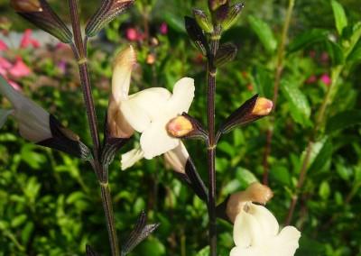 Salvia microphylla 'Lutea'
