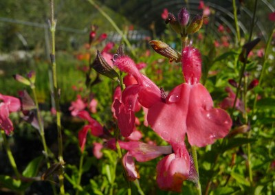 Salvia microphylla 'Roseum'