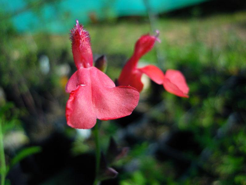 Salvia microphylla 'Sant'Agatha'