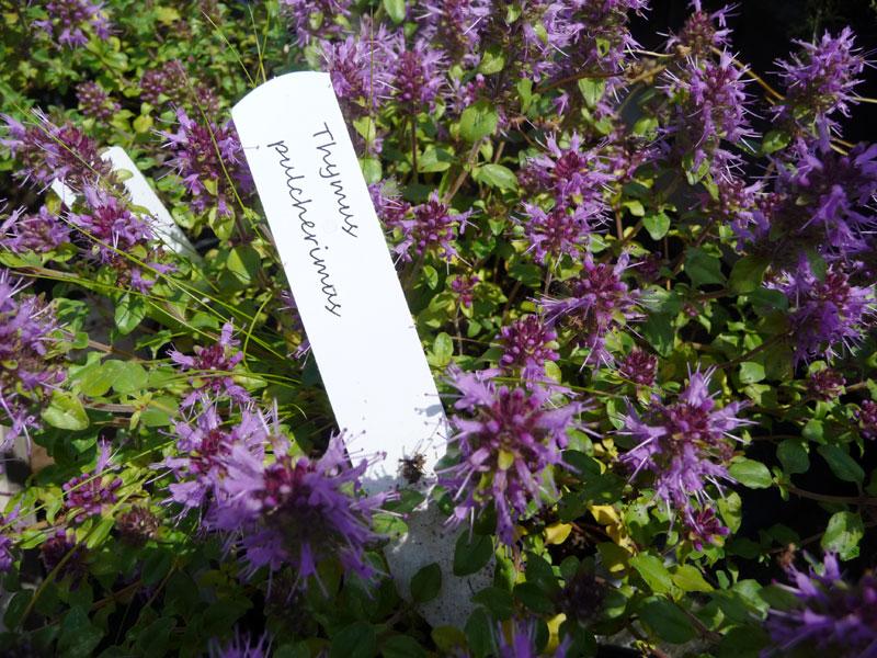 Thymus pulcherrimus