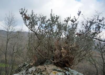 Thymus vulgaris 'Ciancavaré'
