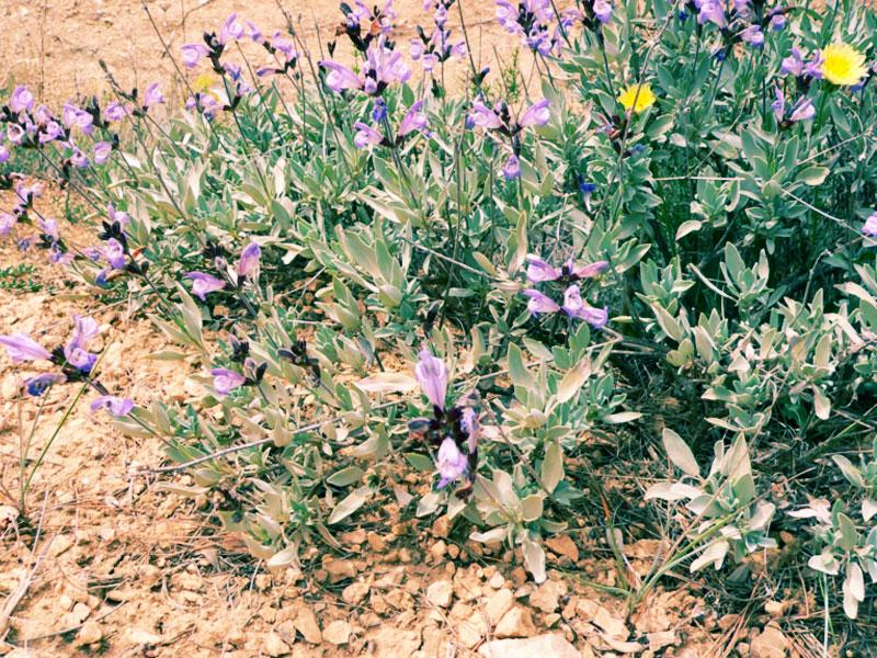 Salvia blancoana