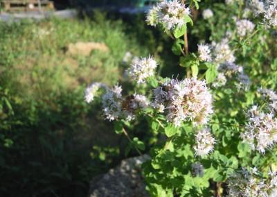 Origanum vulgare 'Ciancavaré'