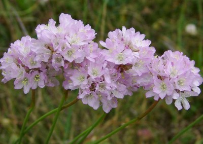 Armeria plantaginea