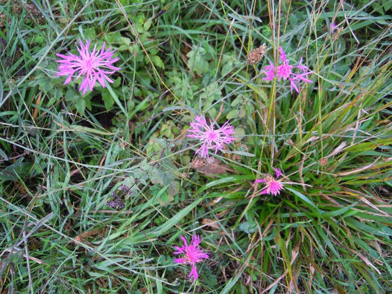 Centaurea jacea subsp gaudinii
