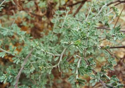 Dorycnium pentaphyllum