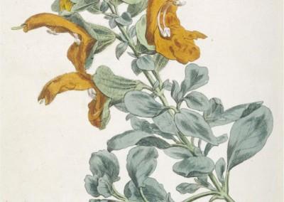 Salvia aurea (africana-lutea)