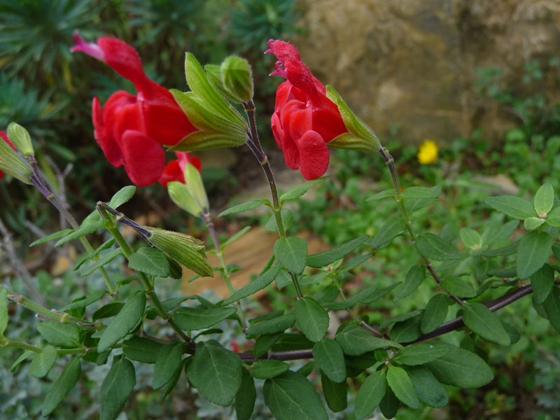 Salvia microphylla 'Huntington'