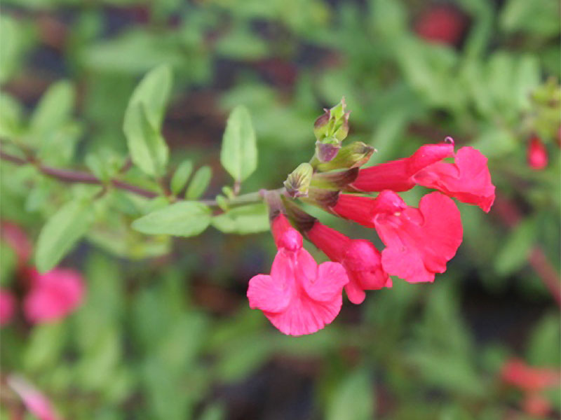 Salvia microphylla 'Baby Sage'
