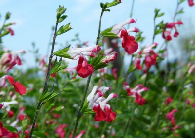 Salvia microphylla 'Hot Lipps'