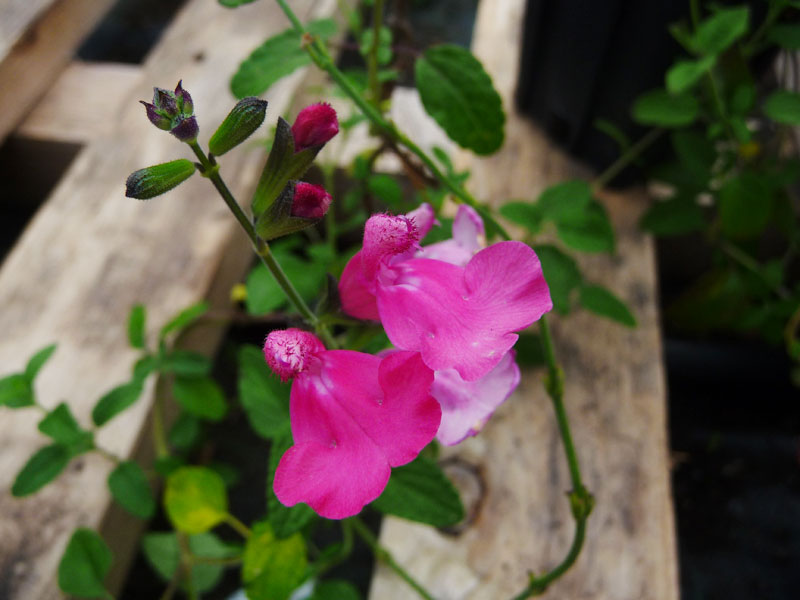 Salvia microphylla 'La Trinidad'