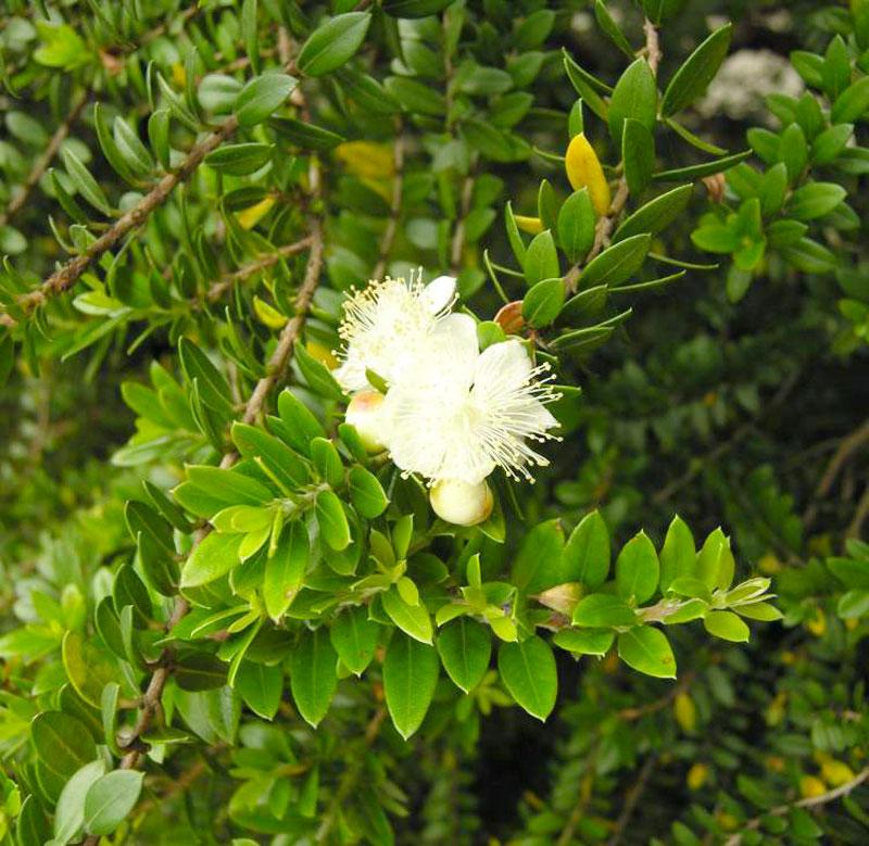 Myrtus communis subsp.tarentina