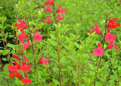 Salvia microphylla 'Neurepia'