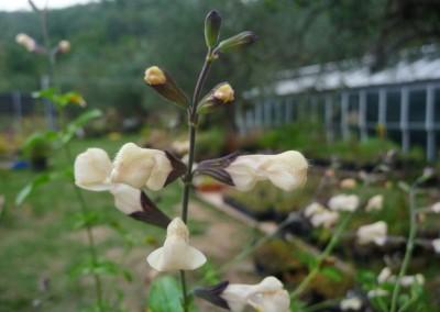 Salvia microphylla 'Trelissick'