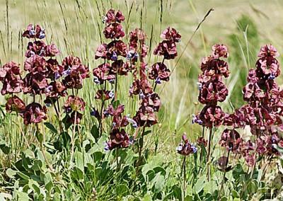 Salvia multicaulis