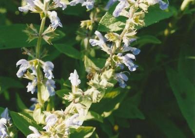 Salvia somalensis