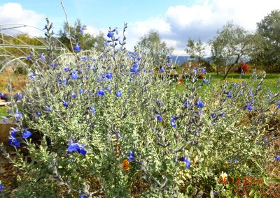 Salvia chamaedryoides var. isochroma