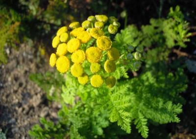 Tanacetum vulgaris'crispum'