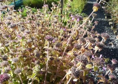 Clinopodium vulgaris