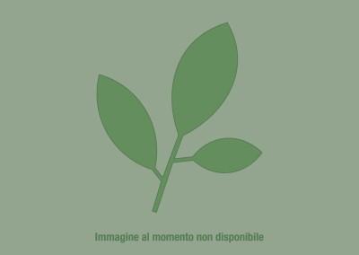 Helichrysum italicum var. microphyllum 'Bonifacio'