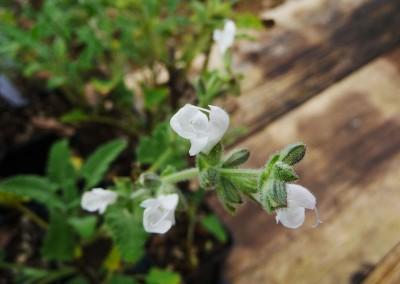 Salvia disermas