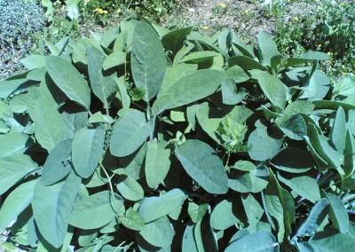 Salvia officinalis 'Maxima'